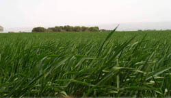 Winter wheat not yet ripe in Argentinean farm country