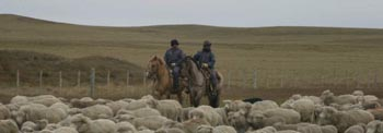 Guanchos herding sheep in northern Tierra del Fuego